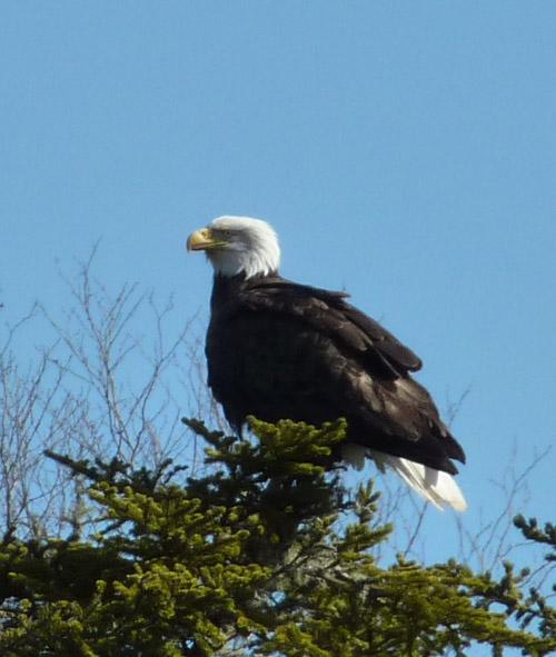Weisskopfseeadler in Kanada-Nova Scotia-Cape Breton www.immo-kanada.de